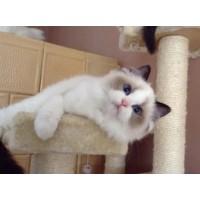 CFA专业认证 蓝双 海双色布偶猫出售 包健康纯种