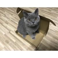 【非猫舍】自家养的 纯蓝英短 想给煤球找个好人家