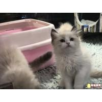 宁波实体猫舍出售英短美短 布偶 加菲保证健康,欢迎借配