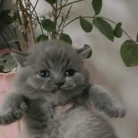 纯种蓝猫精品