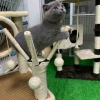 东莞出售自家繁育英短蓝猫 蓝白 加菲猫 美短 健康
