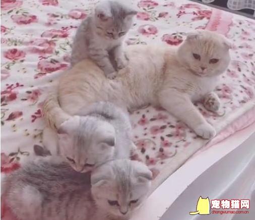 孝顺猫咪给猫妈按摩