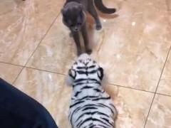 猫见到老虎布偶后,全身炸毛,上去一顿猛揍