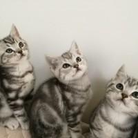 自家大猫生养纯种银虎斑