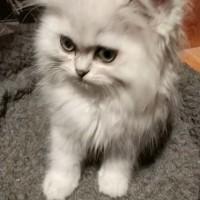 重庆出售金吉拉,家里猫咪太多了,无暇照顾