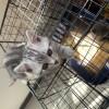 美短虎斑 自家的猫 ,纹路很好 两个多月