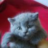 抚顺蓝猫5只便宜出售,三公两母,无病无癣,能吃猫粮会用猫砂