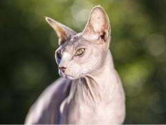 斯芬克斯猫图片