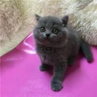 纯种英短蓝猫NO.1签订保障协议