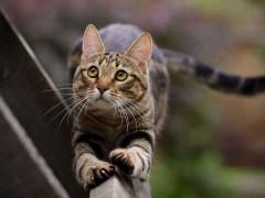 虎斑猫图片