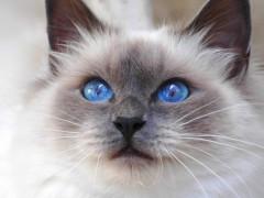 缅甸猫图片