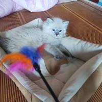纯种布偶猫妹妹三个多月大