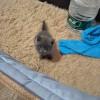 急出一只英短公蓝猫,二个月大乖巧粘人,无病无藓,本人过敏!