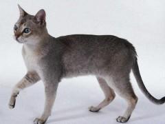 新加坡猫图片
