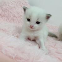 家养重点色布偶,自己猫咪生的,第一胎,价不高