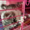 重庆江津 出售一只 金吉拉猫