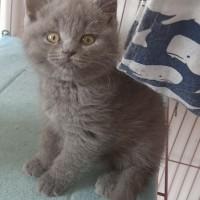 辽宁沈阳蓝猫出售,单只500一只,打包1200三只
