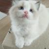 自家繁育优质布偶猫,血统纯正,三公一母,价格优哟,喜欢的加V