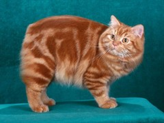 马恩岛猫图片