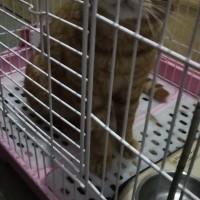 橙猫一只,由于有特殊情况 不能在喂养,已驱虫和疫苗