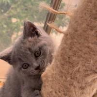 2月大蓝猫,健康可爱。性格活泼或安静的都有