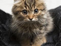 美国卷毛猫图片