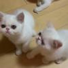 南京家养加菲猫,已打过防疫针,驱过虫