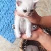 卖英短渐层猫,蓝眼睛,有着金吉拉的基因,烟色的颜色,坐标杭州