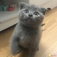 蓝白高地 蓝猫幼猫 坐标:广东省深圳市