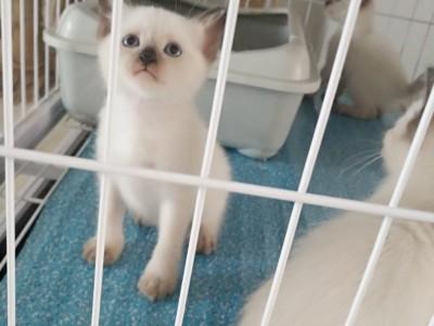 加菲 蓝猫 渐层 暹罗 虎斑