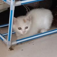 家猫两个月大乖巧懂事,坐标河北 廊坊市