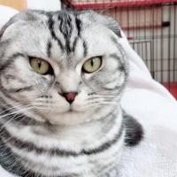 银虎斑折耳猫,已打过疫苗,做了绝育手术
