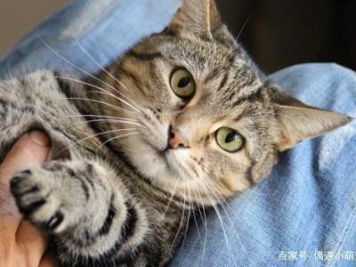 纯种美国短毛虎斑猫,坐标山东济南