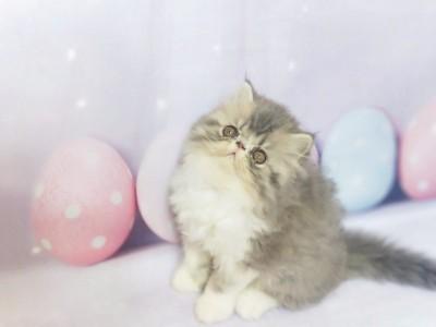 异国短毛猫 加菲猫,坐标广东,珠三角可送上门