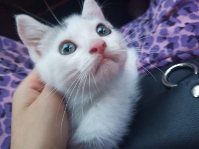 眉山市东坡区,美短虎斑加白,母猫