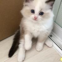 海双布偶2个月 品相超好 小母猫,坐标辽宁-大连市