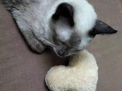 暹罗猫急卖 没时间养 包猫罐头和生活用品加起来几百块一起送了