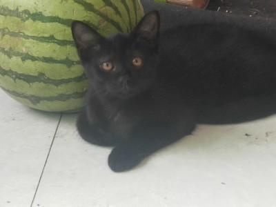河南开封,出售孟买小猫。公母都有