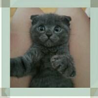 出售折耳蓝猫,猫叫皮皮很活跃很讨喜!坐标河南郑州