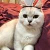 银渐层母猫找主人~ 因工作原因没时间照顾,坐标杭州