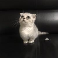 曼基康矮脚折耳猫