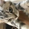 因家庭原因无法继续养猫,故出售猫咪。坐标上海