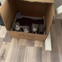 蓝猫;蓝白-英国短毛猫,家庭散养,非猫舍,富养,坐标西安