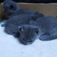 自家繁育英短三只,2公1母,矮脚两只一公一母