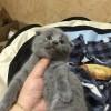 两个月大,折耳,品相上佳,蓝猫,已经打疫苗