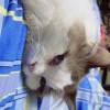 杭州自提自己养的布偶猫工作原因不养了