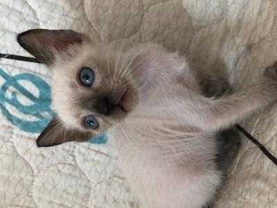 暹罗貓,長的很漂亮,不撓不咬人,性恪好,让洗澡!