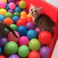 家养折耳美短小猫找新主人
