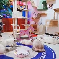 《终身保障》猫舍长期繁育布偶猫 实物拍摄包健康