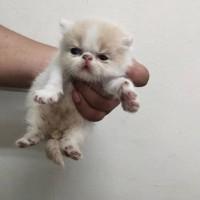 苏州  加菲猫 活体家养 自繁殖 超可爱